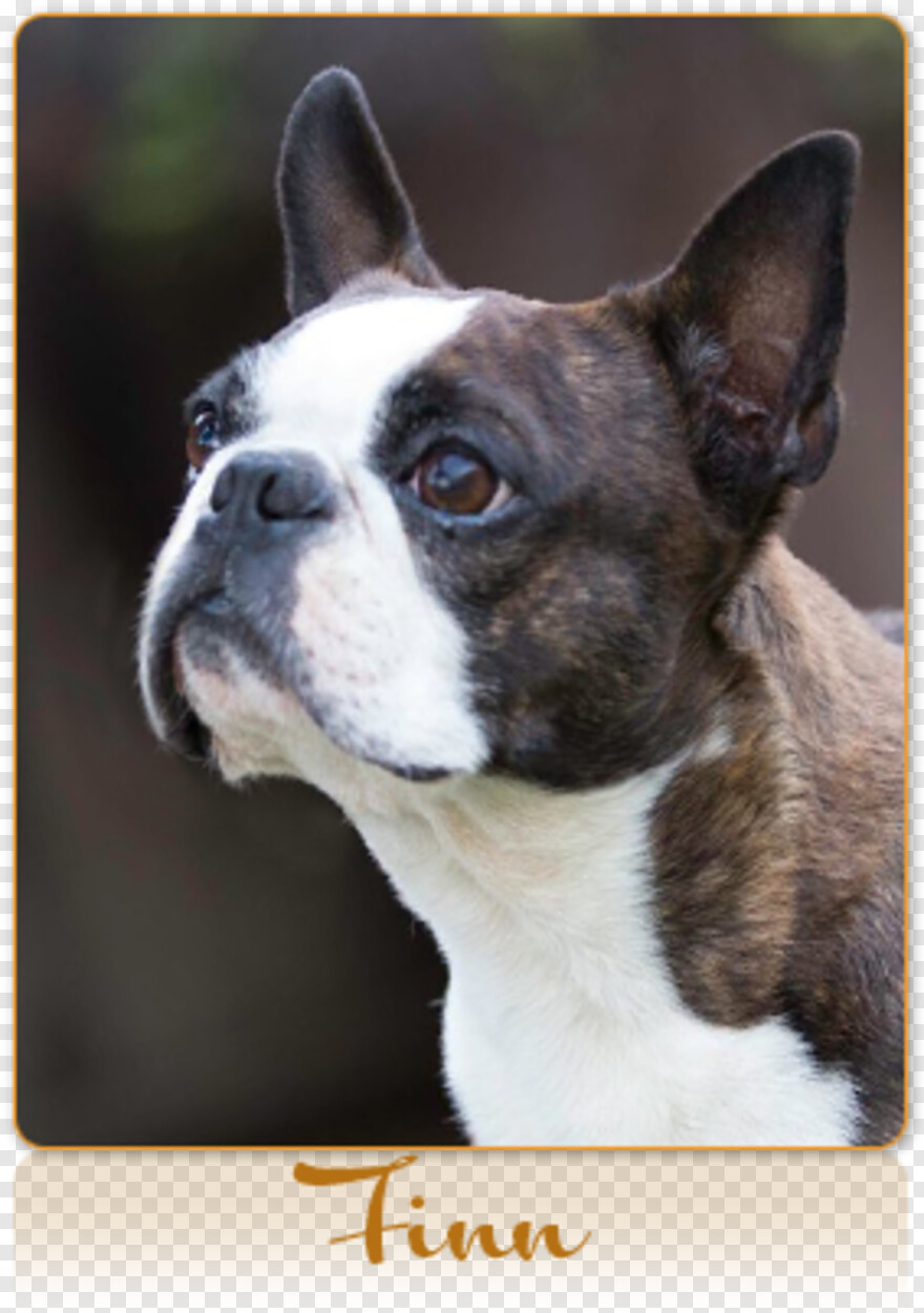 Boston Terrier - French Bulldog, Transparent Png