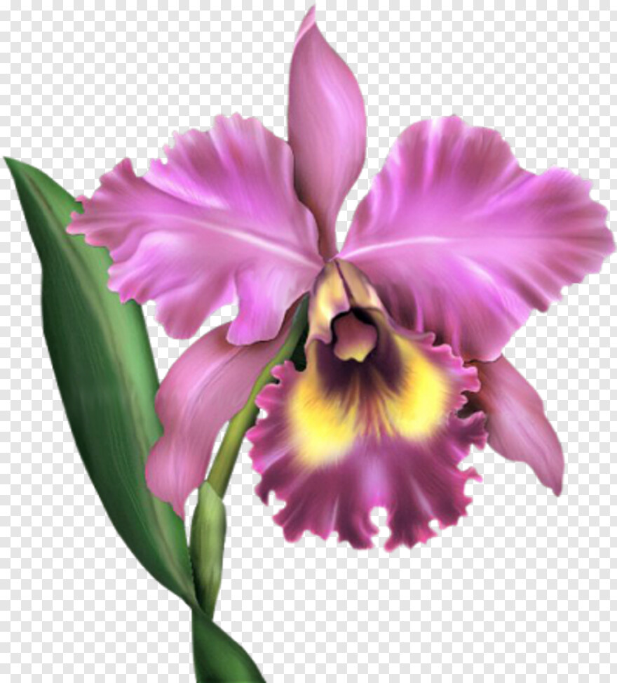 Orquideas Cattleya Orchid Transparent Png 419x443 5610817 Png Image Pngjoy