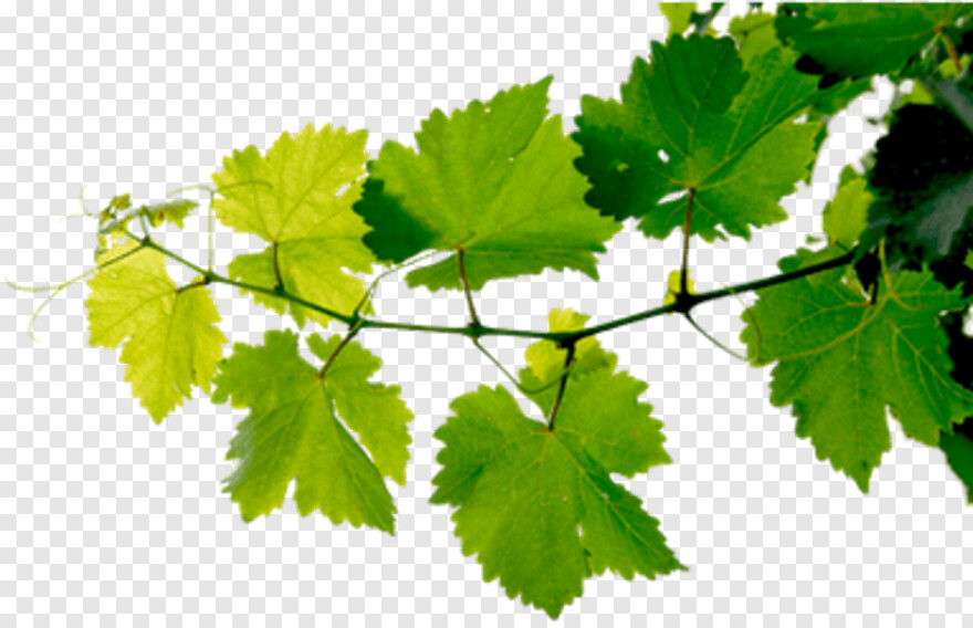Grapes Leaves Transparent Background Png Png Download 383x247 745383 Png Image Pngjoy