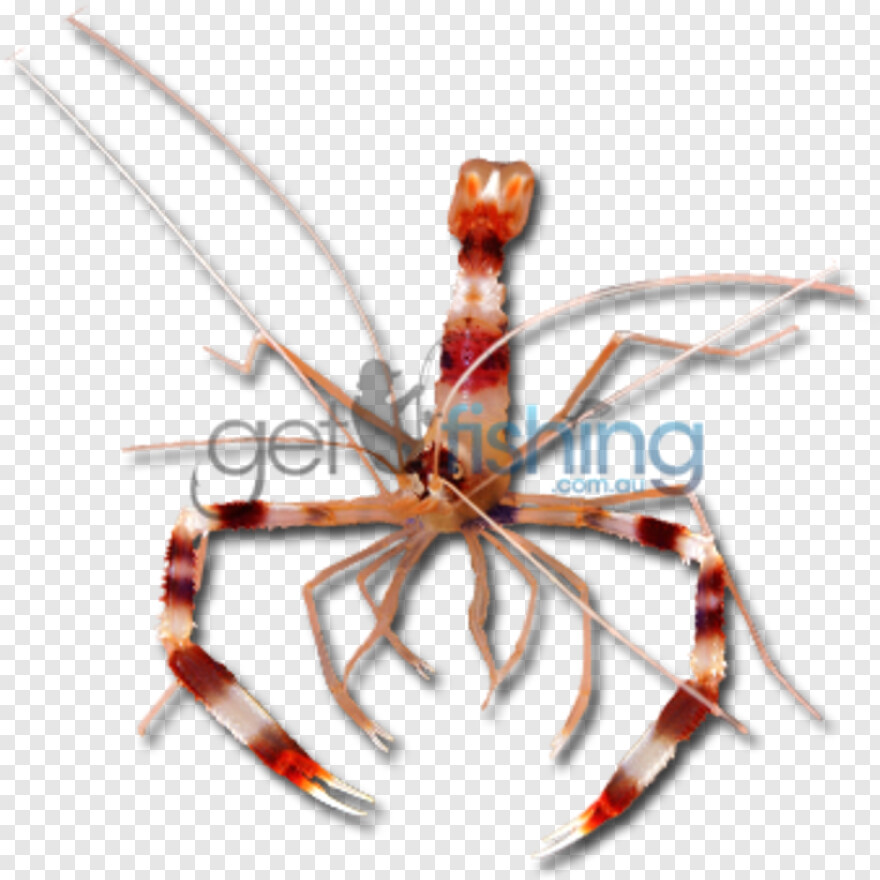 Shrimp - Banded Coral Shrimp Png, Transparent Png