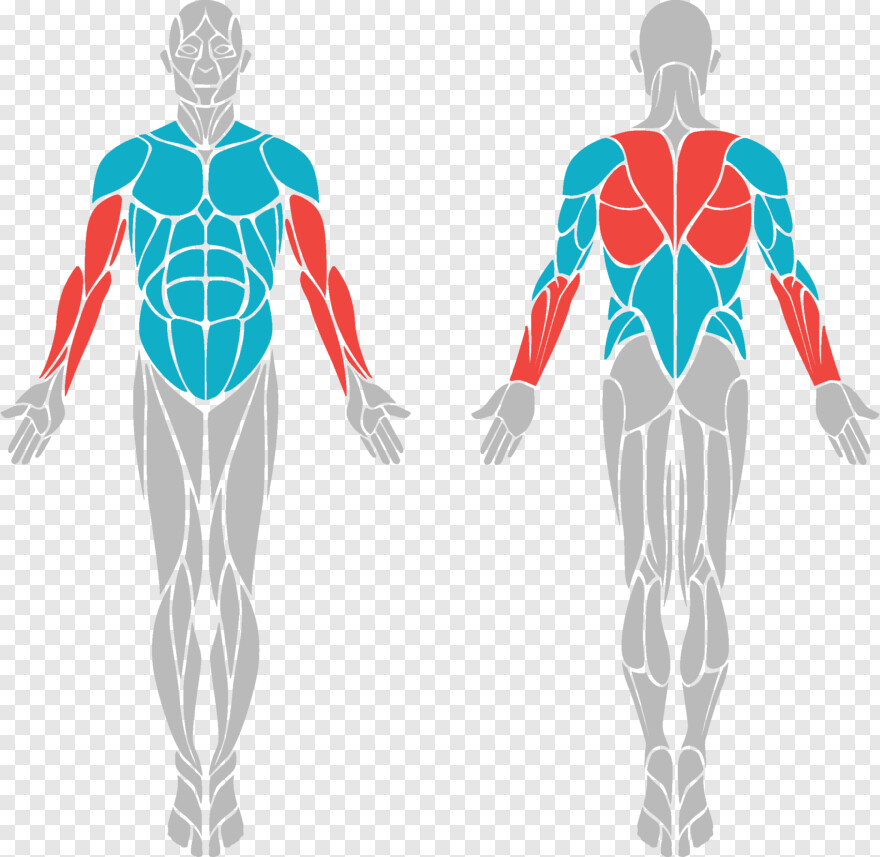 Bicep Body Muscle Diagram Vector Png Download 2346x2286 9958102 Png Image Pngjoy